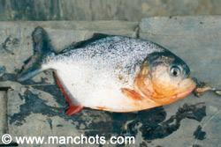 Piranha - Bassin amazonien (Bolivie)