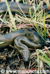 Anaconda - bassin amazonien (Bolivie)