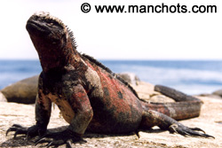 Iguane marin - Punta Suarez, Isla Espanola (Galàpagos)