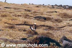 Envol d'albatros